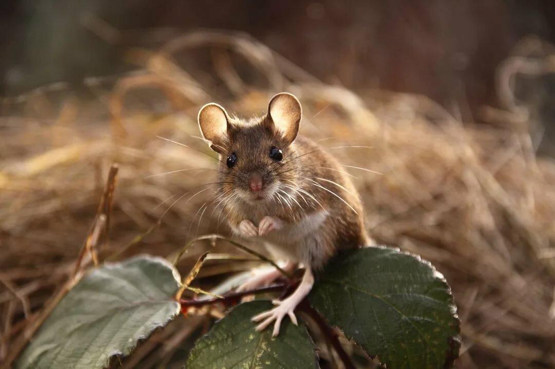 Охота на мышей картинки