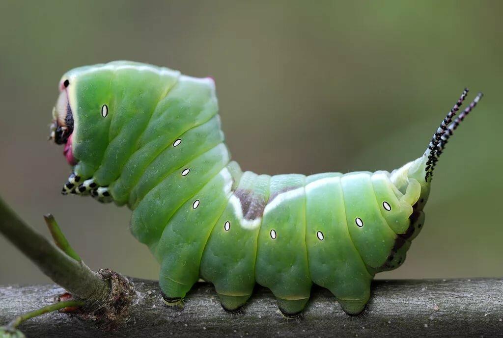 помещении толстая гусеница фото евразии этот вид