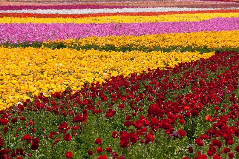 Поле красивых ярких цветов.