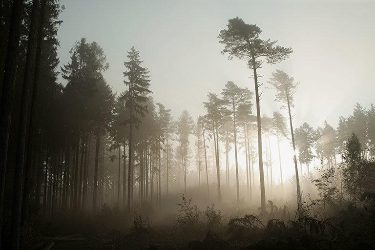туманные пейзажи хвоя