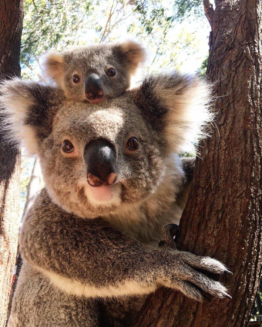 Красивая, коала картинки приколы