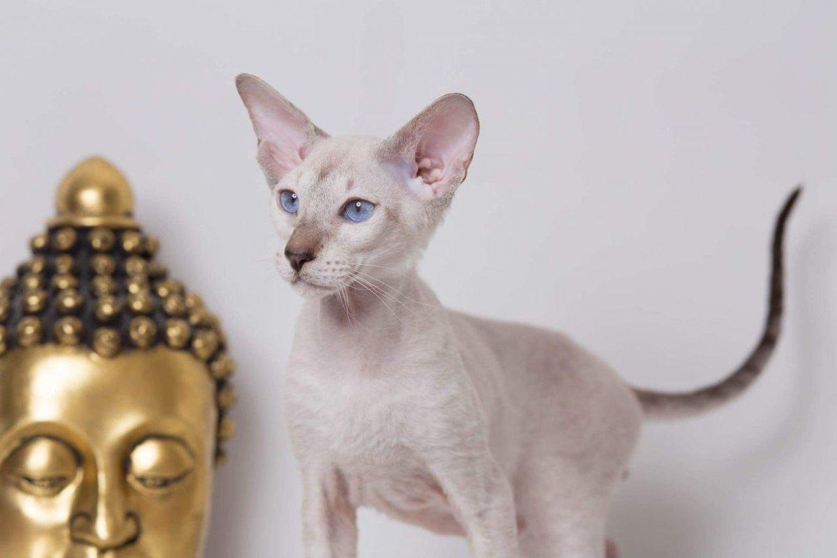 Сфинкс донской фото кошек жидкие формы