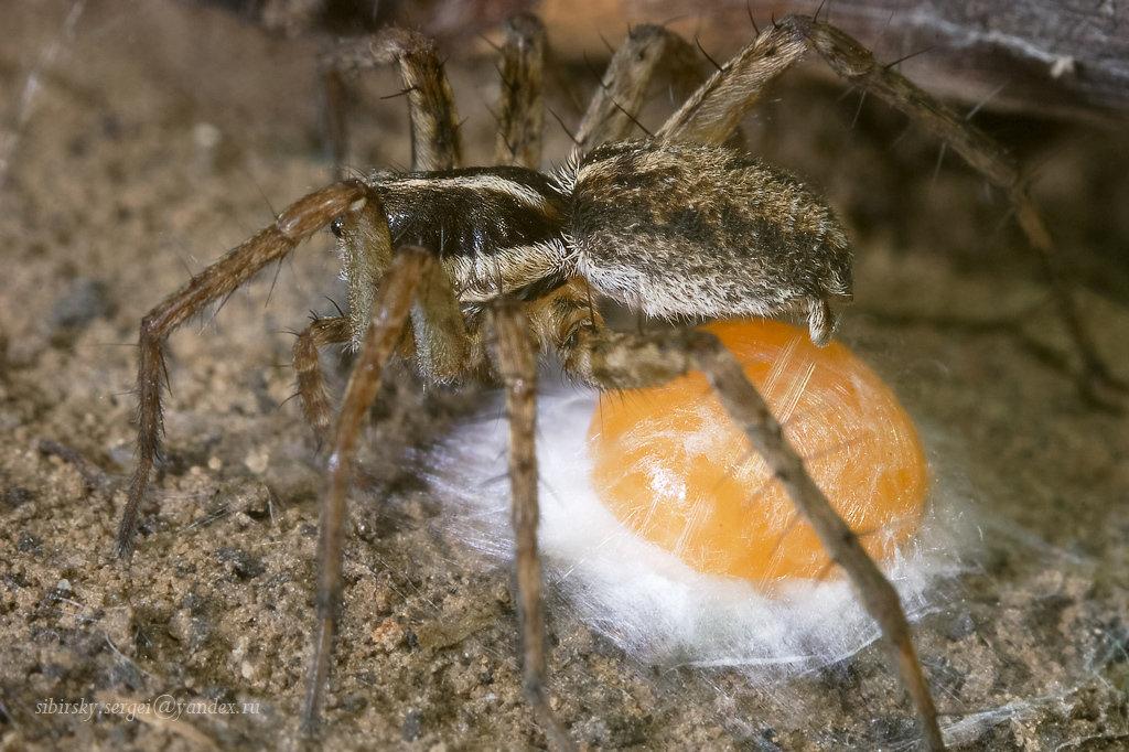 может сколько яиц откладывает паук-крестовик дама сама