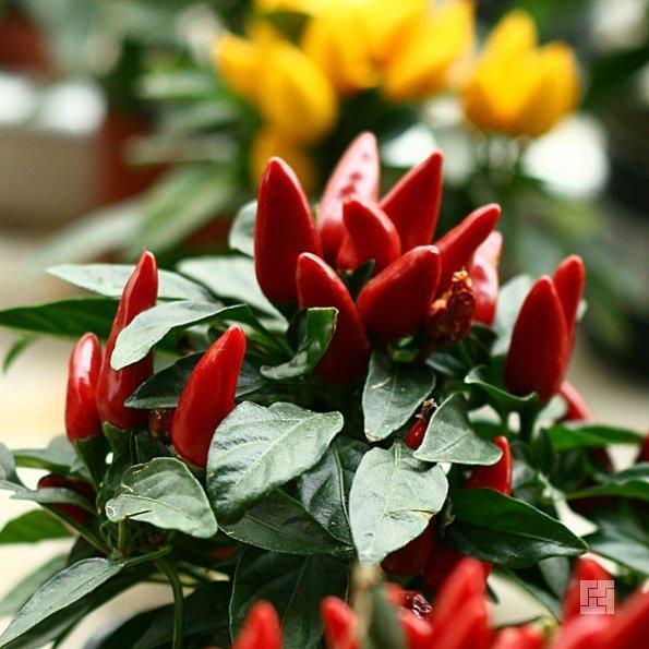 Самый шик обзавестись на кухне плодовыми мини растениями, более уместного растения для кухни и не придумаешь