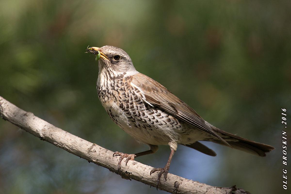 дрозд рябинник птица фото жалею