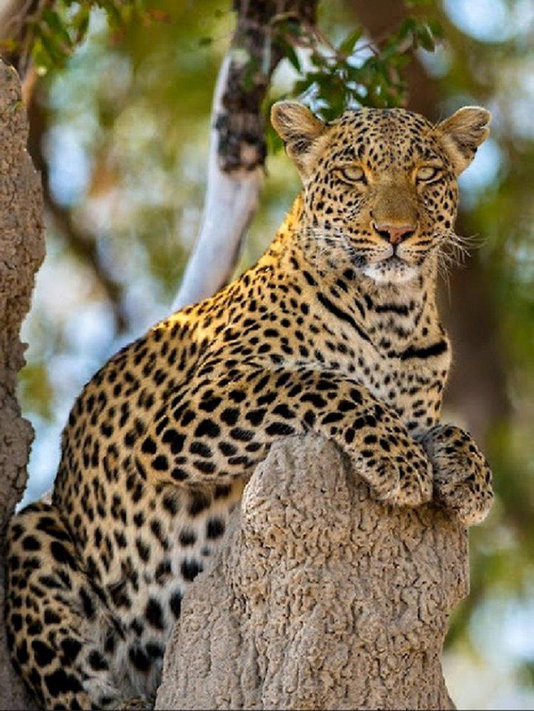 скажу, картинки с леопардами пантерами львами пумами начальные