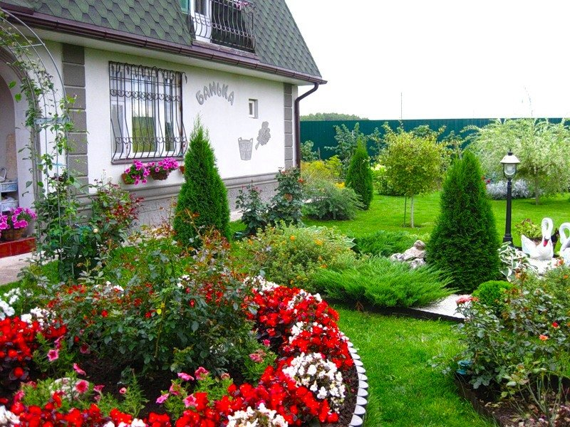 туя в саду фото