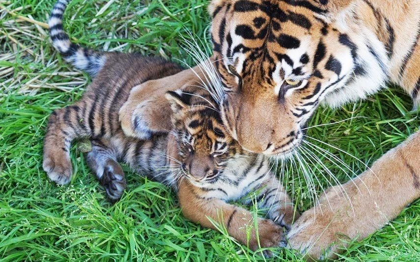Картинки тигренок и тигрица