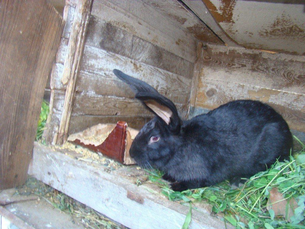 кролики черно бурый в один месяца фото рацион входят