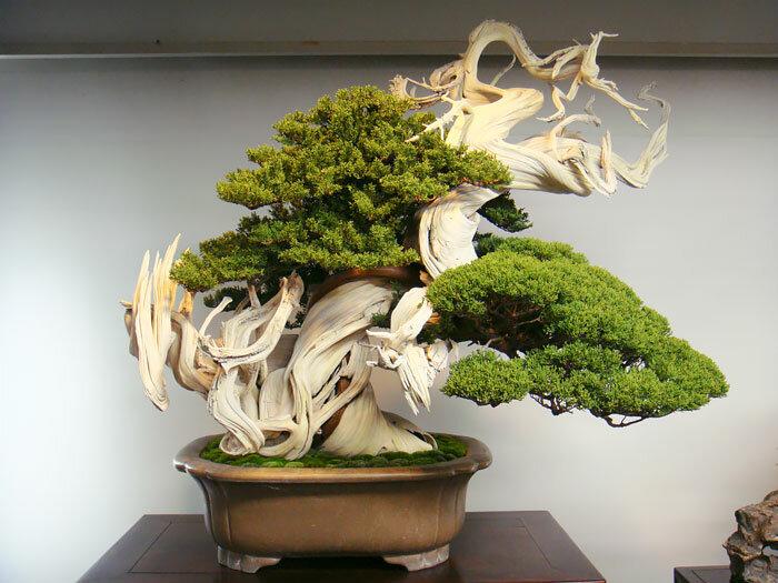 Искусство бонсай – примеры красивейших миниатюрных деревьев