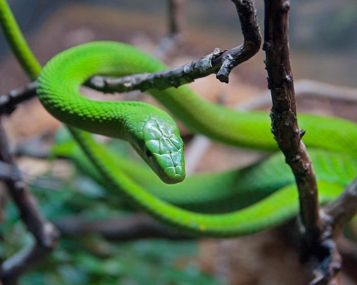 опасные змеи мамба