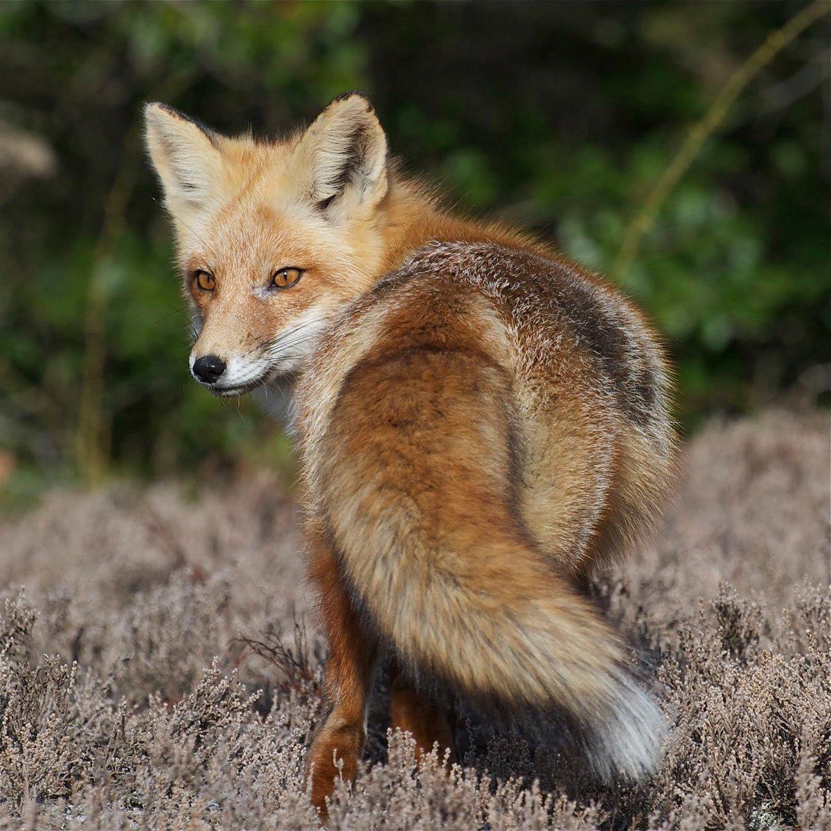 tvoja spotična lisica