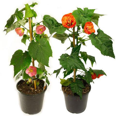 Энергетика абутилона, утверждают цветоводы, улучшает настроение, рассеивает грусть, придает оптимизма. А еще этот цветок улучшает состояние сердечно-сосудистой системы.