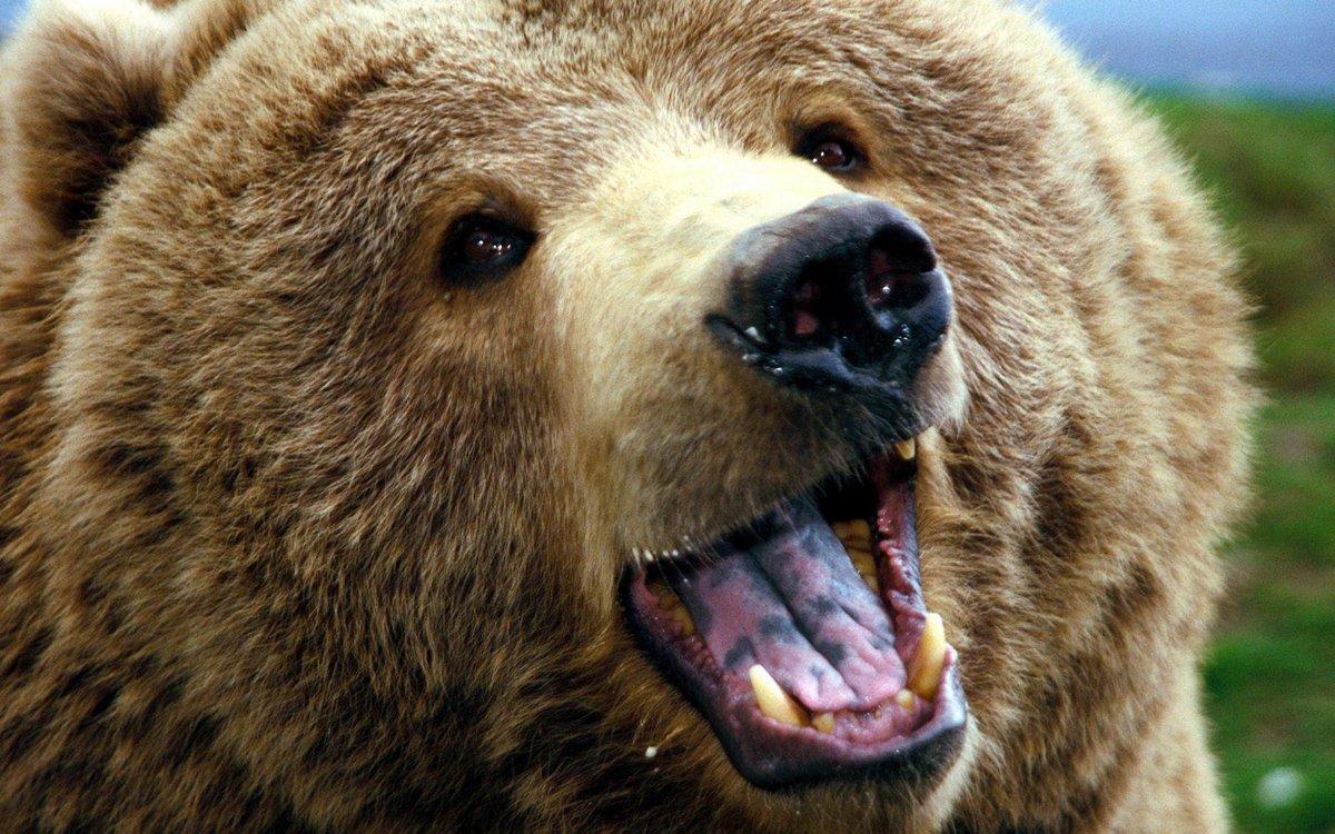 Картинках, картинка прикольный медведь