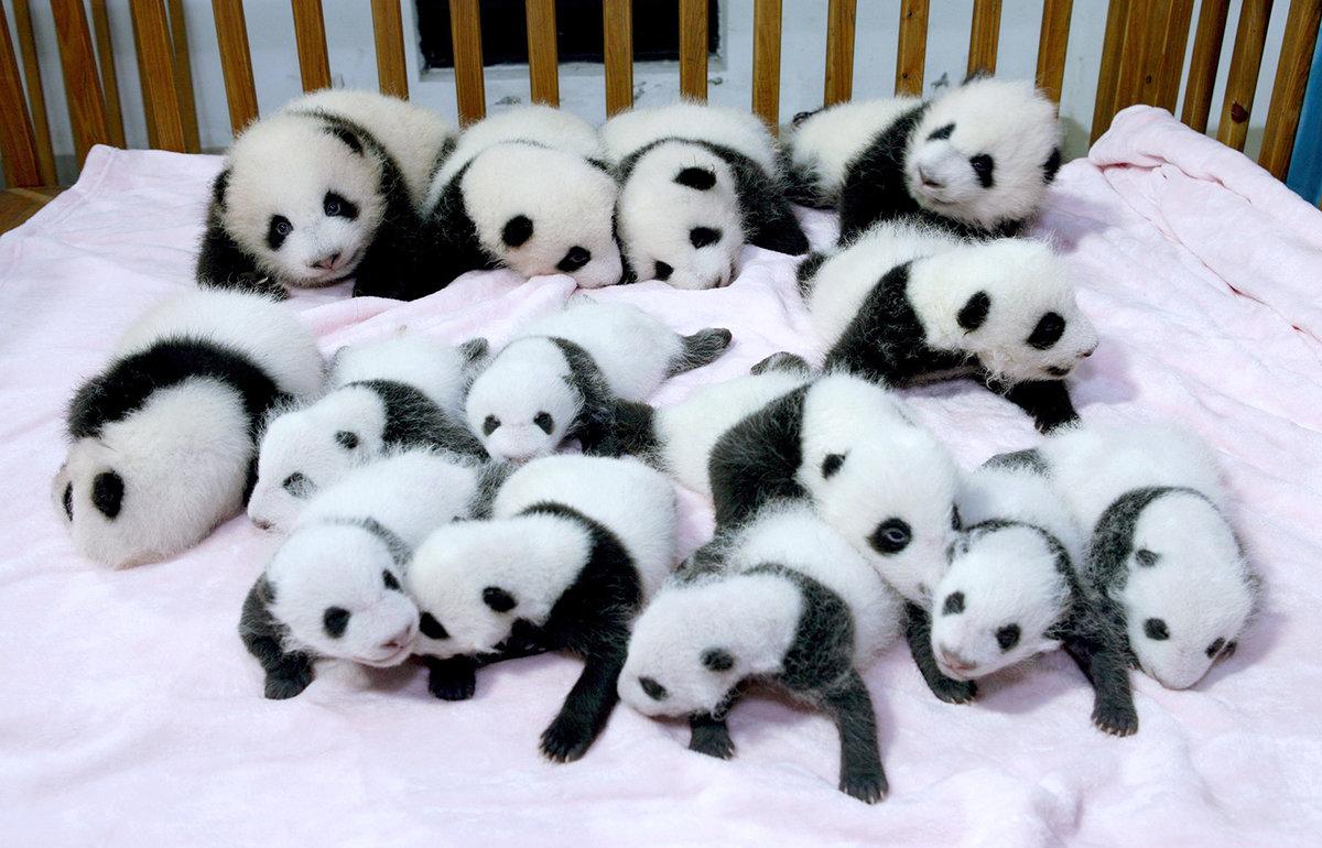 милые детеныши панды , которые обязательно подарят вам улыбку