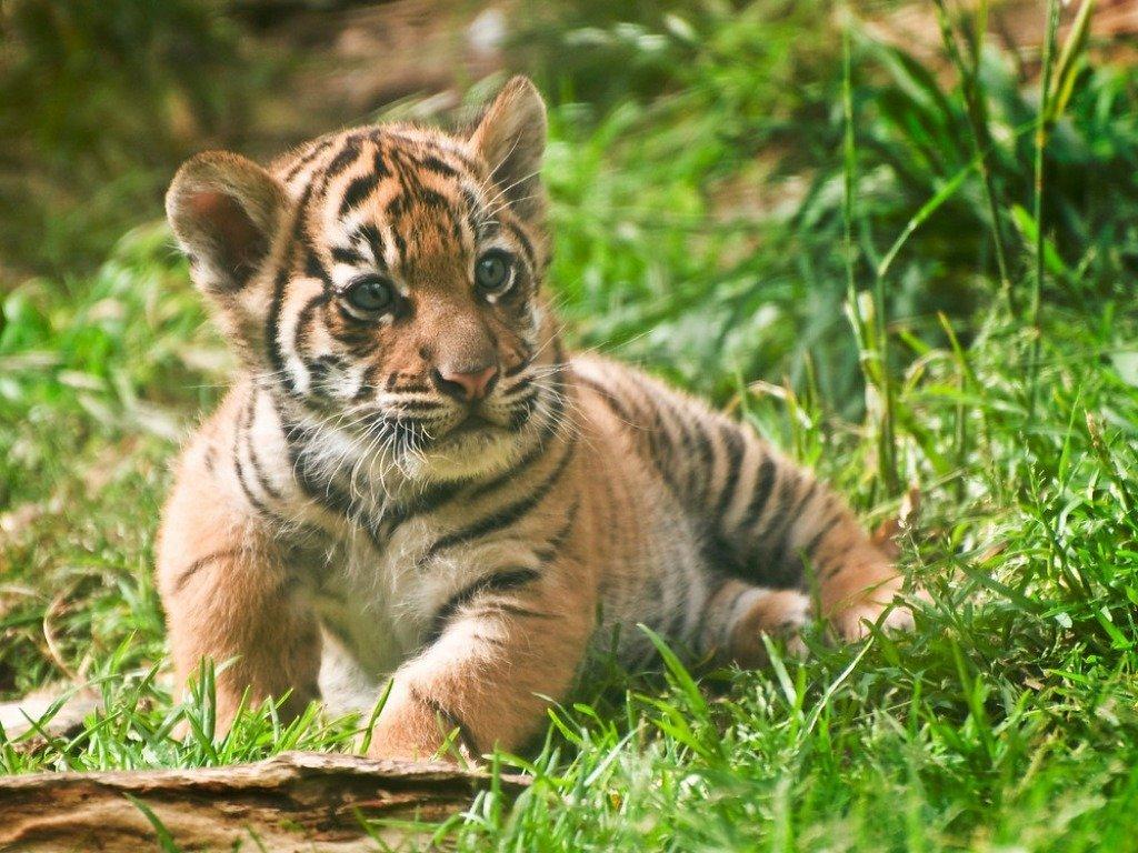 по-прежнему красивые картинки маленьких тигрят среди всех