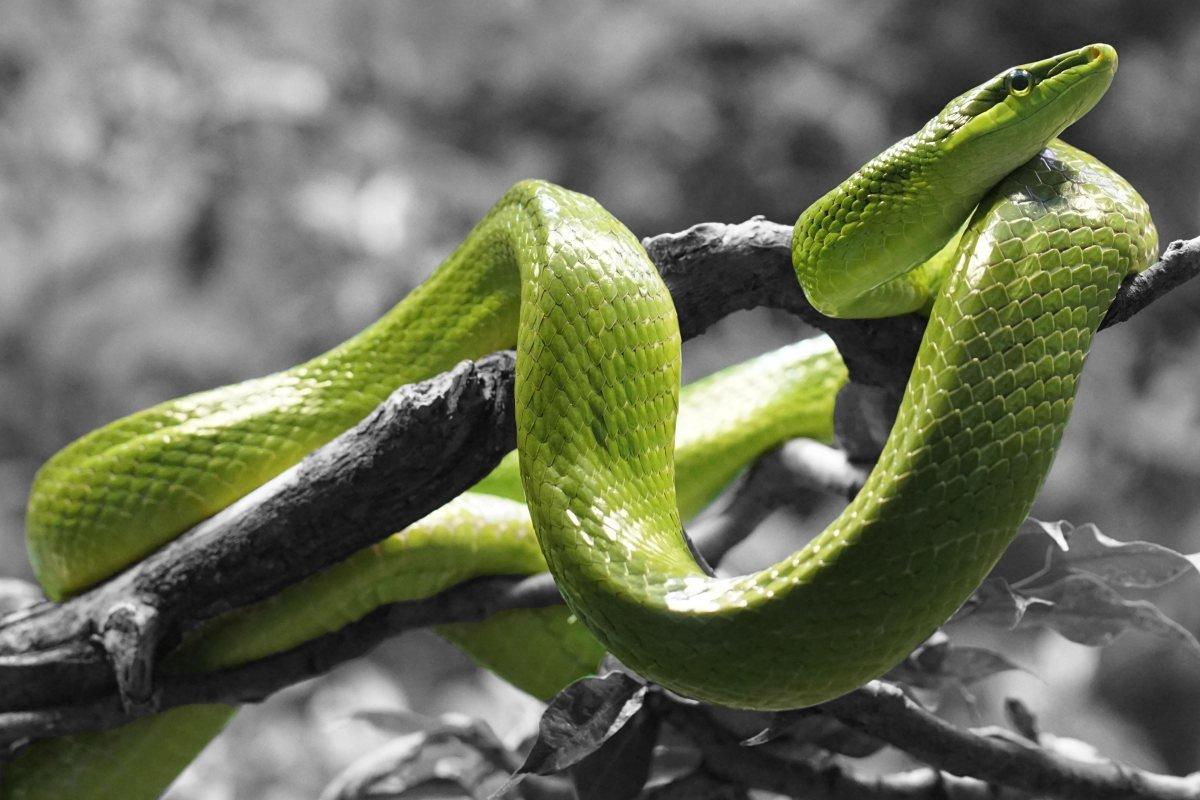 Мкрн. зеленый мамба шакьямуни занжуу