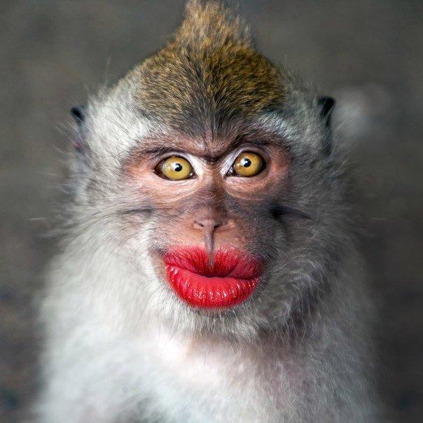 Картинка обезьян прикольные, сочинение