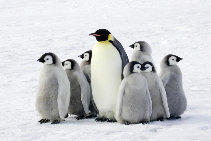 Пингвинов не на знакомства