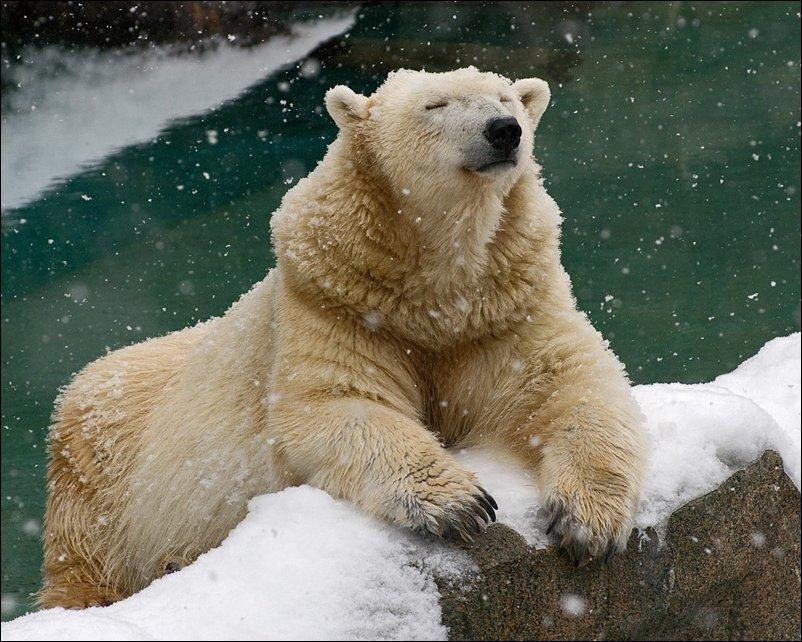 Веселые картинки белые медведи, днем медицинской