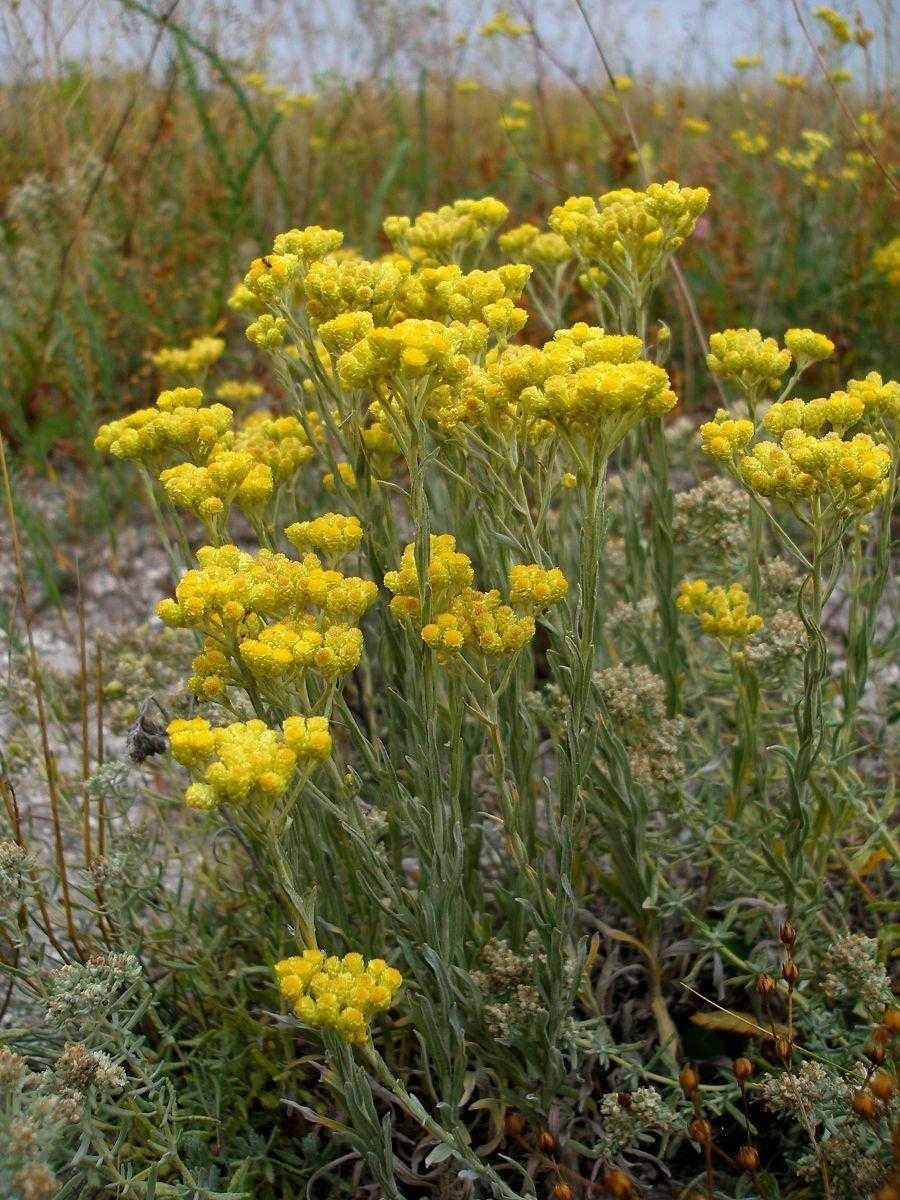 лекарственные растения с желтыми цветами фото и названия