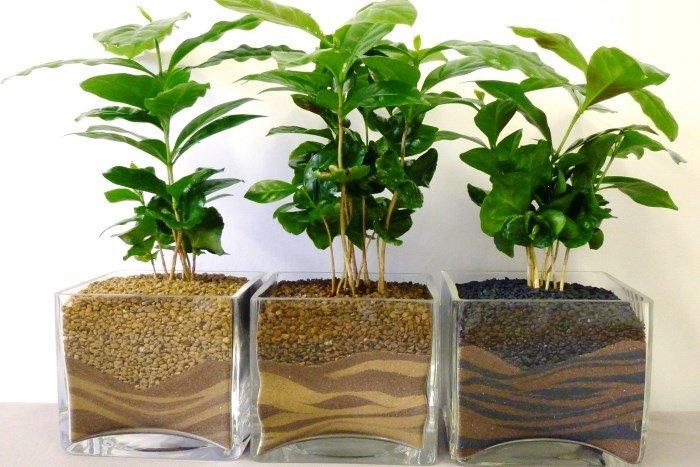 Практически в любом интерьере кухни будут отлично смотреться плодоносящие растения, такие как кофейное дерево