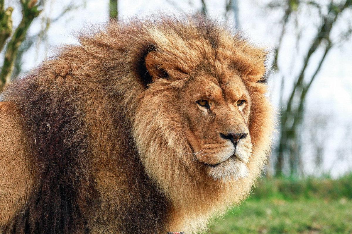 Классные картинки льва, открытки