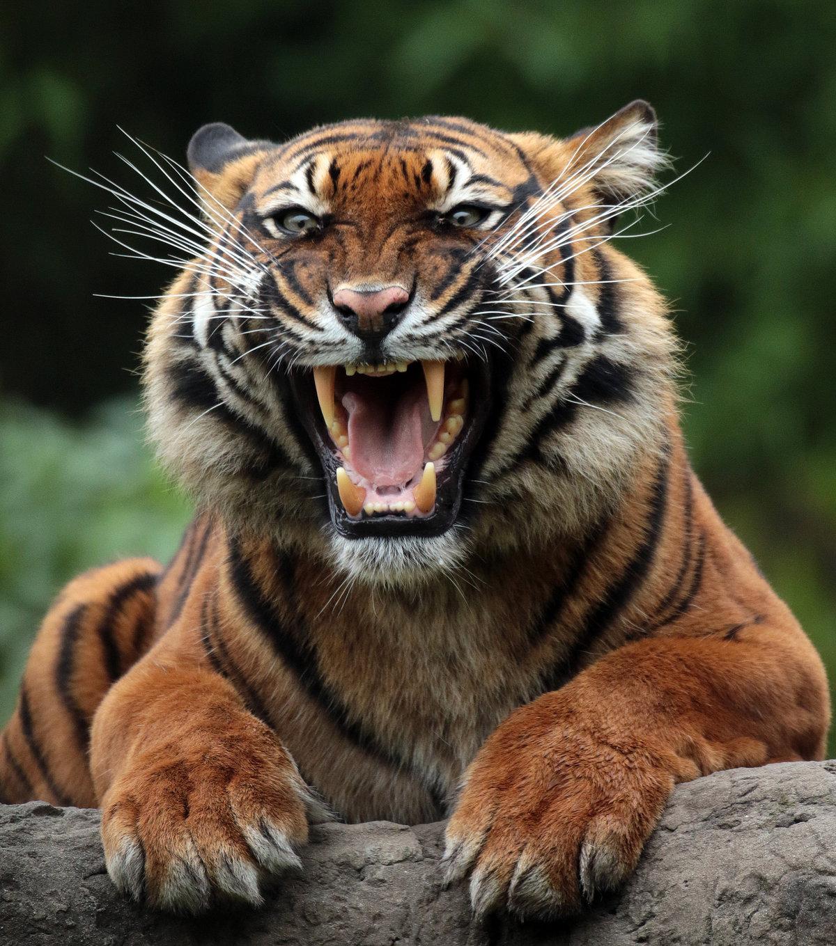 Тигры картинка для группы