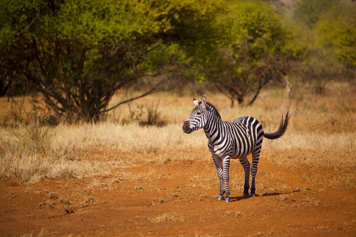 Зебра в естественной среде