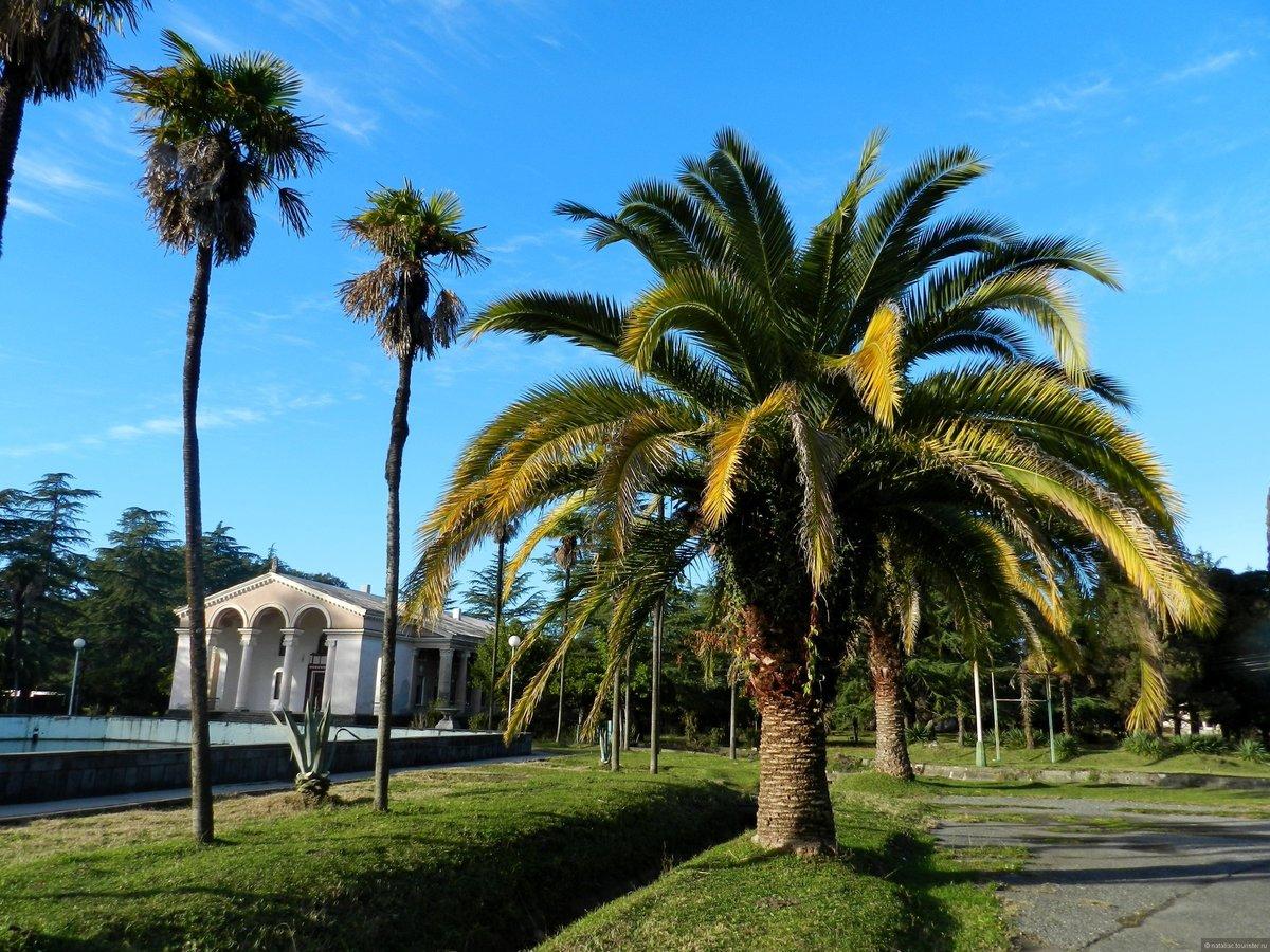 Пальмы абхазия название картинка