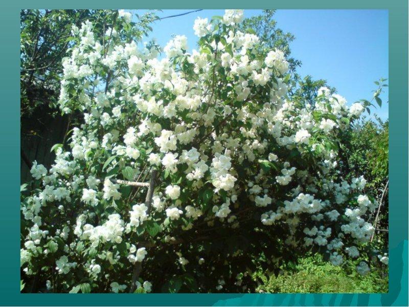 страницу пользователя, где в омске можно купить жасмин дерево р-н