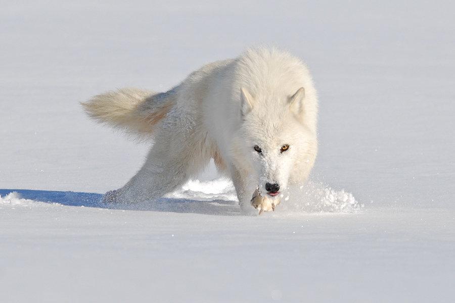 щенок картинки белого волка на снегу бриллиантовые золотые