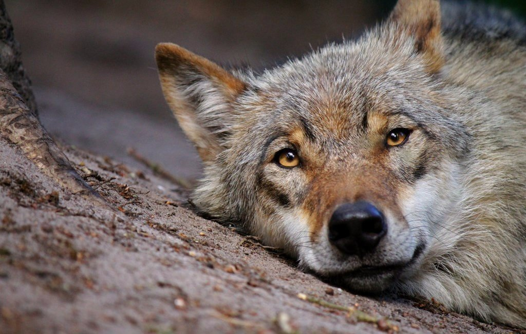 Братец волк