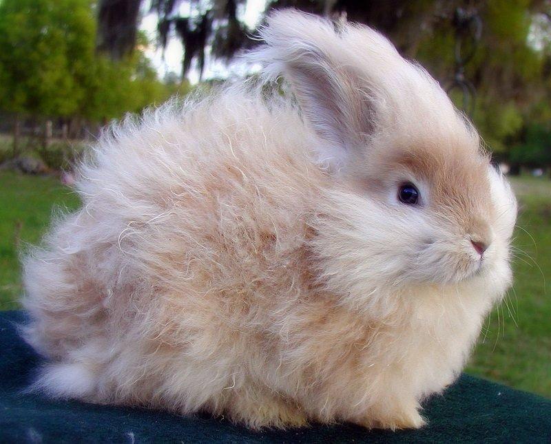 только английский ангорский кролик фото новые