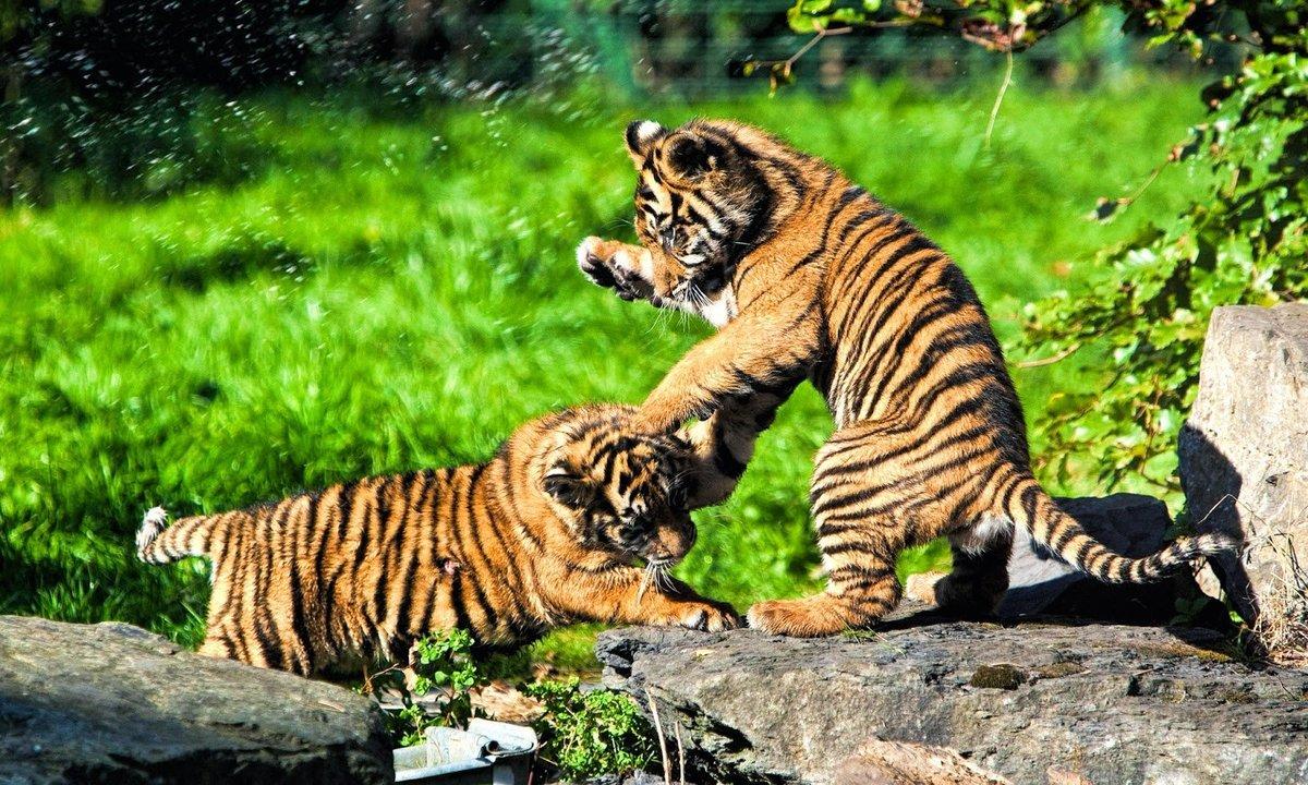 Все картинки о тигрятах