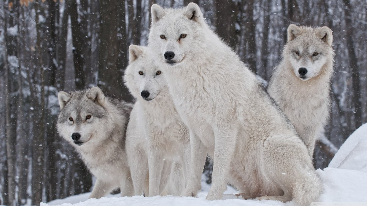 Cool White Wolves