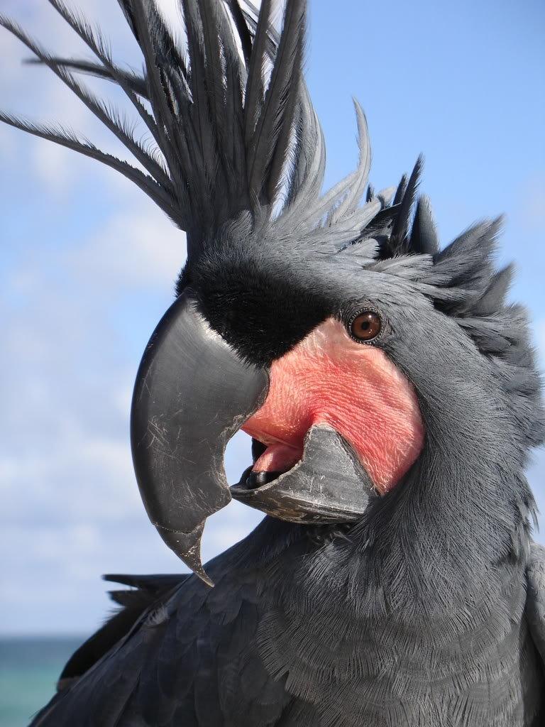 Какаду - птица