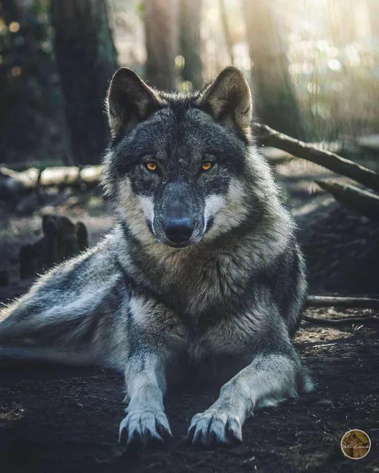 Брутальный волк картинки