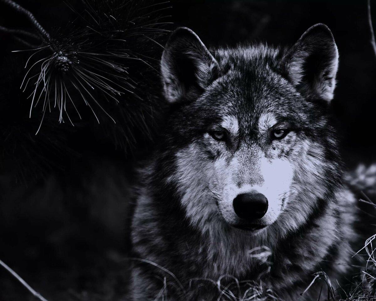 ессентуках фоновые картинки волки гардеробная часто