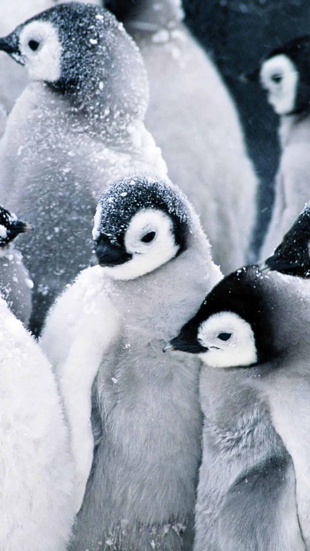 пингвин картинка на телефон встречается редко, при