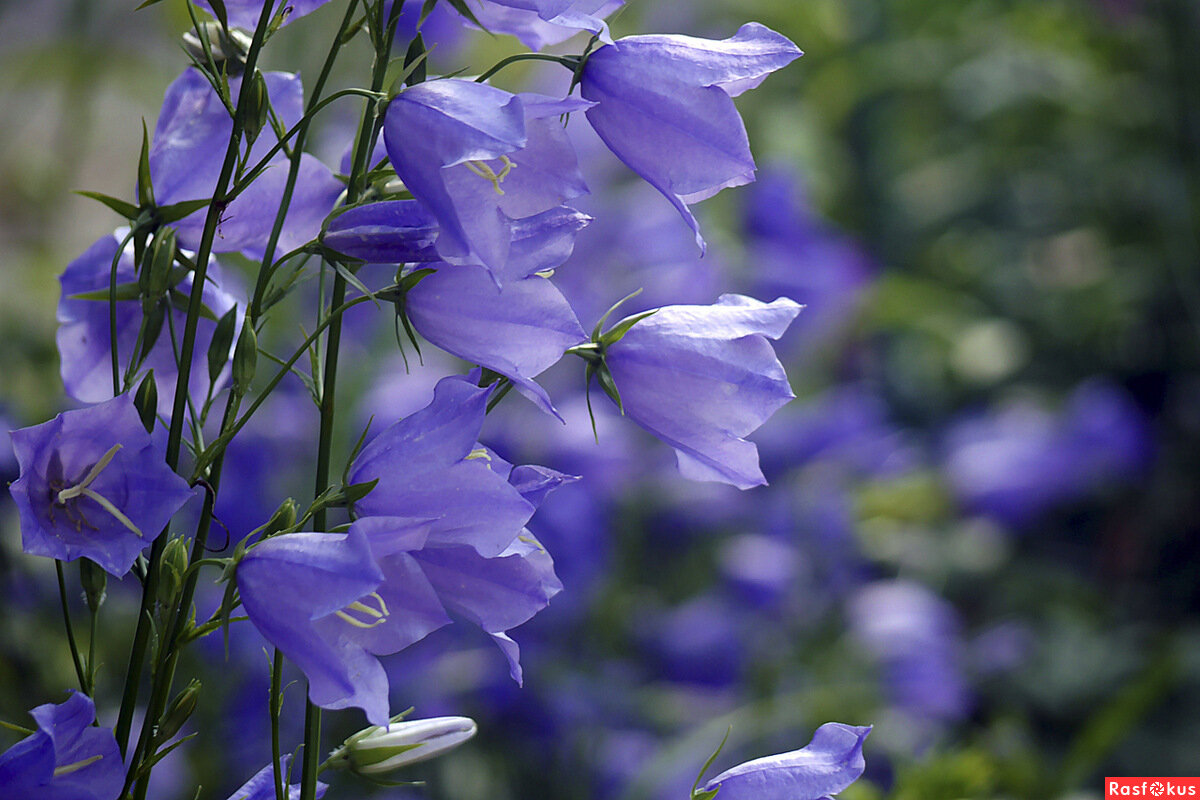 Гифы колокольчики цветы