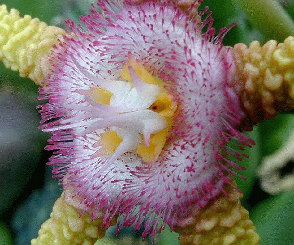 фото цветок игузмис