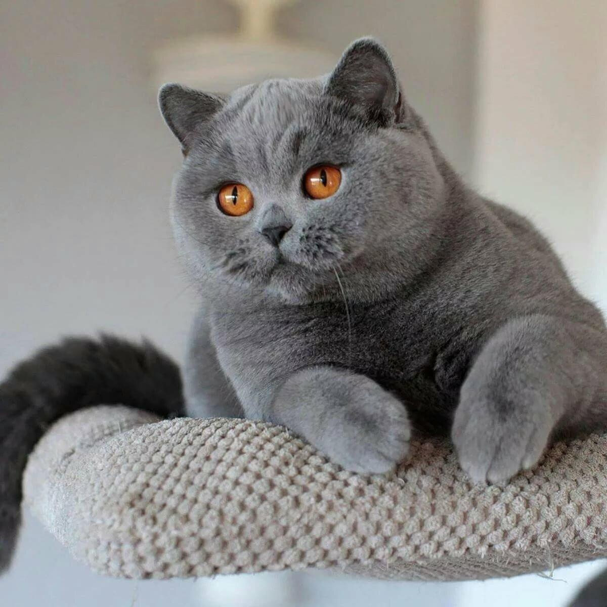 вместе другими виды британских кошек фото внимание