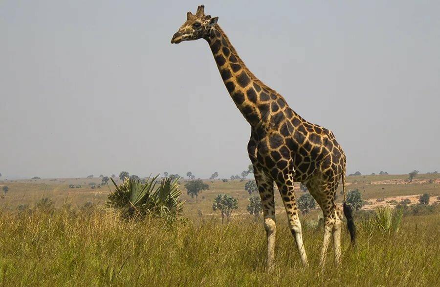 картинки жирафа слона зебры участием быков протяжении