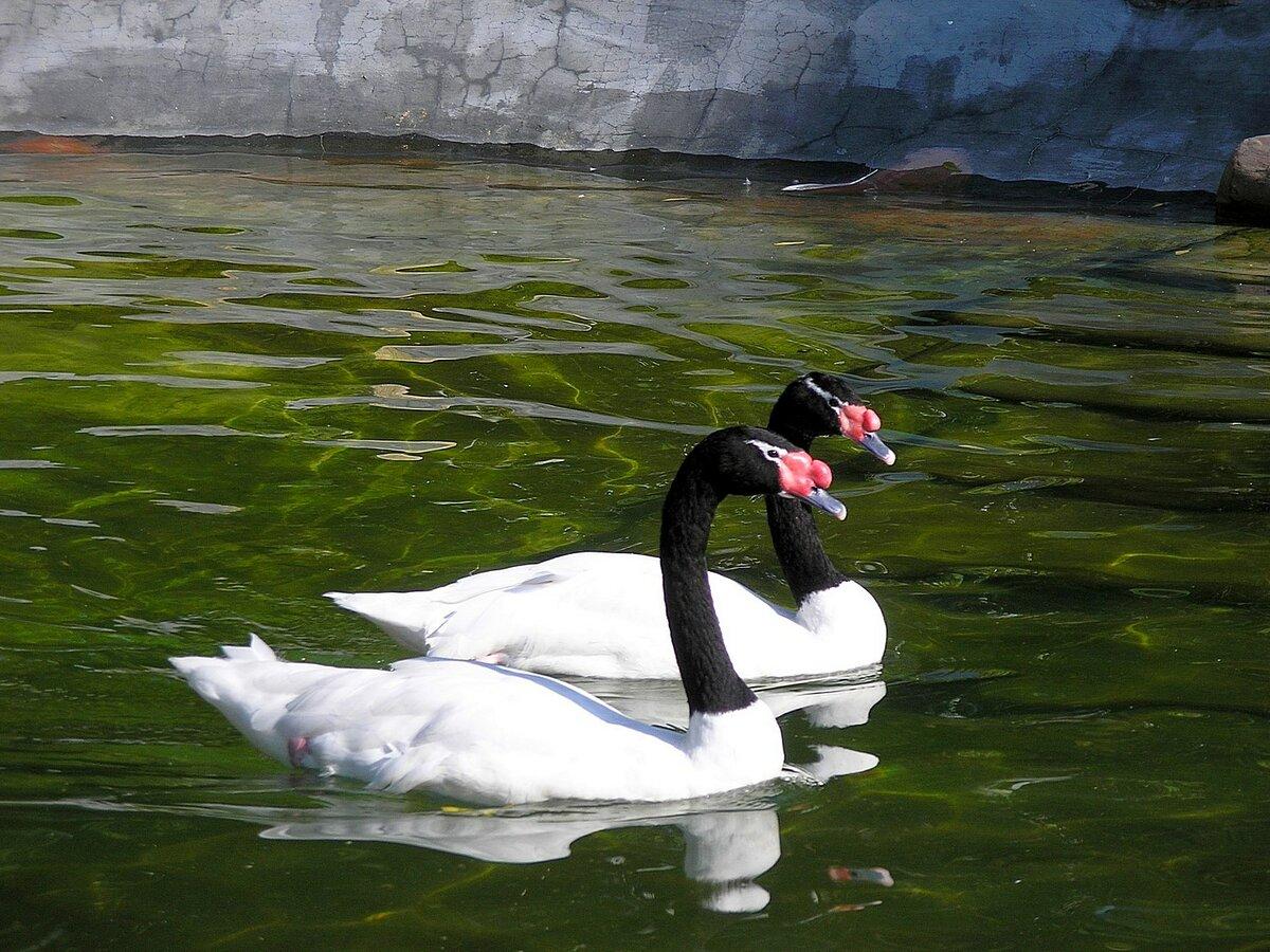 вышивка картинки необычных лебедей фильмы