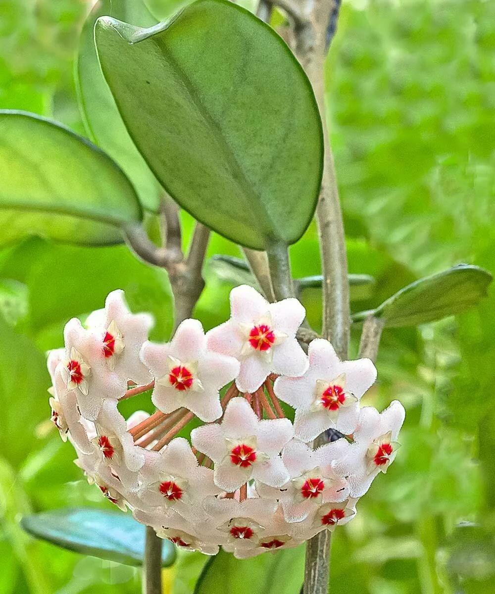 пучки цветок хоя в картинках том, что