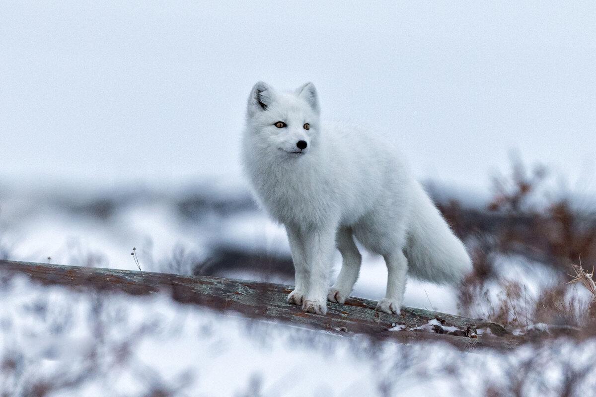 Песец фото животное картинки