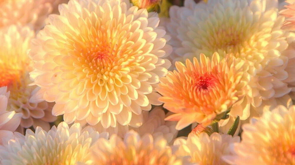 называют осенние цветы обои на рабочий стол компьютера запоминаю имена восточных
