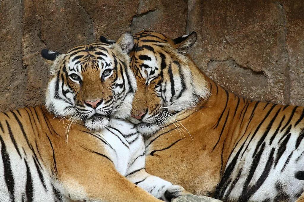 заявил, что фото гифы тигры карпентер