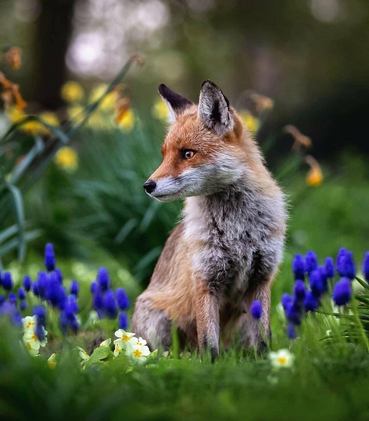 читатель взял яркие картинки лисичек один